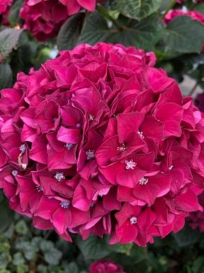 'Bloody marvellous' hydrangea
