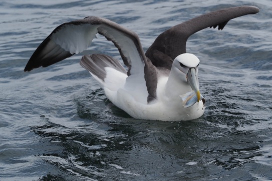 White-capped Albatrsoo from Doubtful Sound