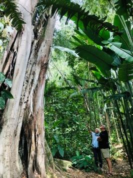 Huge fig tree
