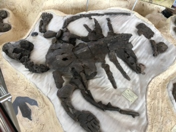 LArgest fossil of a turtle in S AMerica
