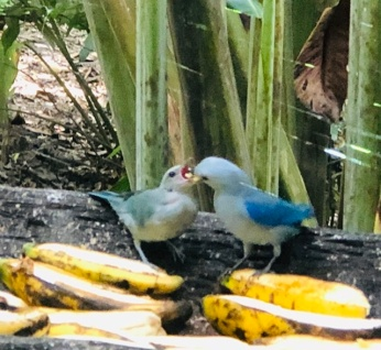Blue tanager feeding baby