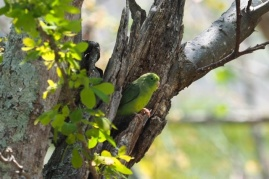 Some kind of green parrot