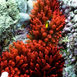 Rare red anemone with little anemone fish